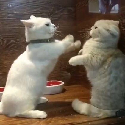 两个矮子打架是什么概念#宠物##猫咪#