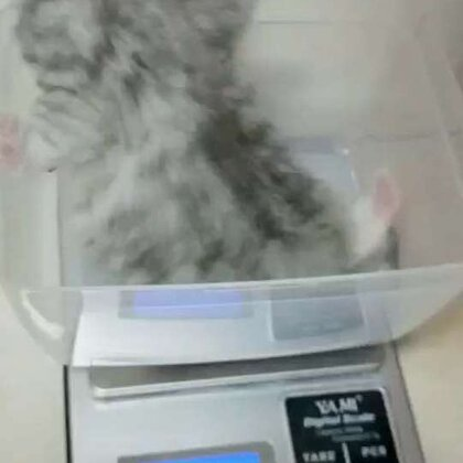 库存 小灰小时候。所有小猫都 都已去新家 #宠物##日志##精选#@宠物频道官方账号 @美拍小助手