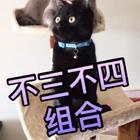 """#听到闽南语歌的反应##宠物##家有三宝-猫咪# 听到闽南语歌曲后""""不三不四组合""""的反应好可爱哦!(三弟蓝猫、四弟夜华)😻😻 三宝㊗️大家周末愉快!"""