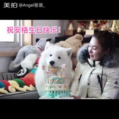 Anger一岁啦!祝安格和他的弟弟妹妹们生日快乐!遗憾的是你生日不在我们身边,但是爸爸妈妈永远爱你!大家都赞起来吧~给安格送上祝福吧!#宠物##萨摩耶#