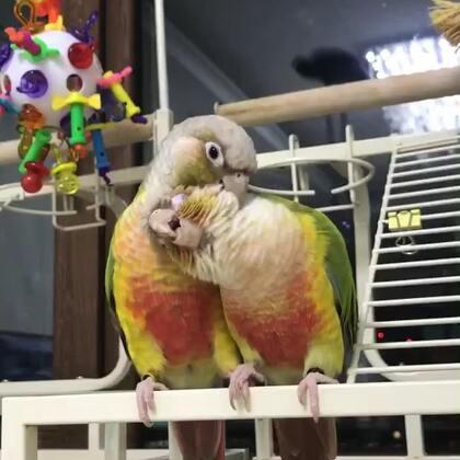 甜蜜蜜&爪抓爪。😘😘😘#宠物##我的宠物萌萌哒##小太阳鹦鹉小哥哥和妹妹#