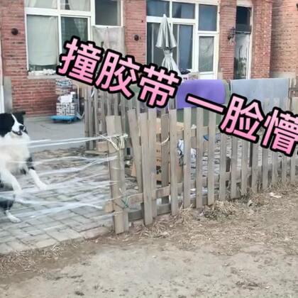 撞胶带一脸懵b?心态炸裂?说好的剧本呢?说好的懵b呢?私信我让我拍的 是坑我还是坑狗!!!再也不拍被反套路的视频了!备战双12去了 淘宝店铺塞拉宠物后院儿 快加购物车喽 https://sylar-vn.taobao.com/#宠物# 爱你们