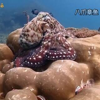 #水肺潜水 #皮皮岛 #泰国 #章鱼 #变色章鱼 #旅游 #假期 #自由行