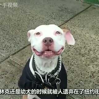 纽约爆火#网红狗#,一只一直面带#微笑#的猎狗!#我要粉丝,我要上热门#
