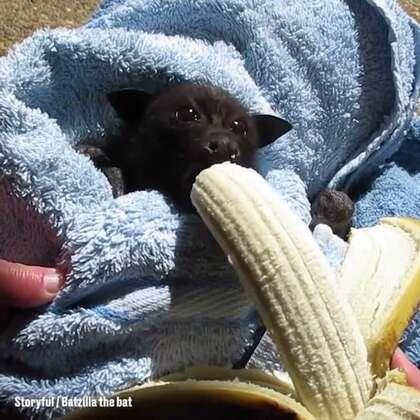 大蝙蝠吃香蕉。长的跟狗子似的#宠物##涨姿势#
