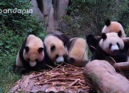 #也就才看二十遍##大话熊猫#这插队!简直理直气壮!让人无法拒绝!