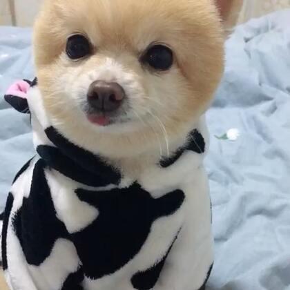 【一只小萌球🐶博美犬美拍】12-14 19:48