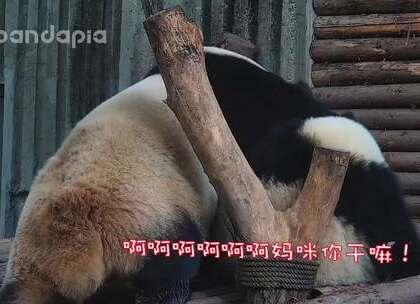 #萌团子陪你过周末#妈咪,你认错熊啦!!!