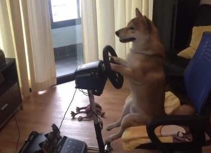 #囧囧趣闻#老司机!狗狗最近迷上了赛车游戏,玩得还真是有模有样地😂😂