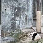熊猫宝宝打架