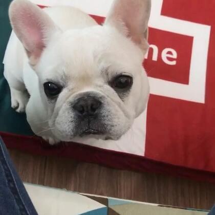 小白,小馒头和狗饼干比,好像狗饼干更便宜些。狗饼干好吃吗?#宠物##法国斗牛犬##极品法斗##唐门法斗先生#