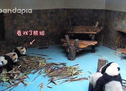 #也就才看二十遍# 三个熊猫一台戏,还有三个熊呢,当然是看戏的~😁