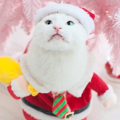 mimo: 朕来发圣诞礼物了,送给大家朕的美照,不用谢~#mimo##宠物#