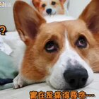 冬天,要叫醒一隻狗,只好用唱歌的方式了(睡個覺表情包也太多) #台語歌劇##別以為我睡覺就沒聽到你要去釣魚##柯基犬嘎逼#