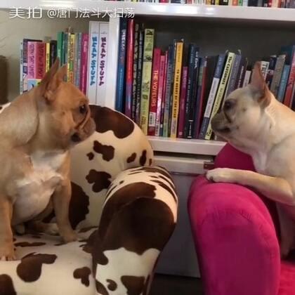 你再看一下我试试? 我就试试。#宠物##法国斗牛犬##唐门法斗先生#