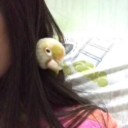 乖的不像鸟。😘#我的宠物萌萌哒##宠物##小太阳鹦鹉小哥哥和妹妹#