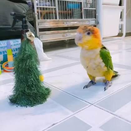 #囧囧趣闻#鹦鹉!在斗舞这件事上我就没输过,鹦鹉跟玩具斗跳圣诞歌舞蹈😂😂