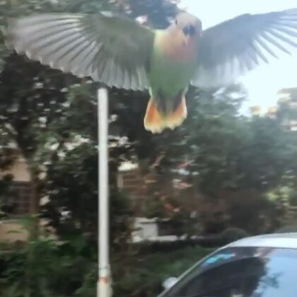 fly#宠物的有毒小视频##牡丹鹦鹉##宠物#