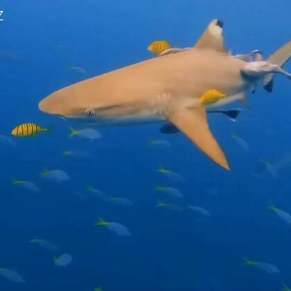 鲨鱼🦈真是比窦娥还冤,因为没有营养的鱼翅而濒临灭绝。停止消费鱼翅等濒危物种,没有买卖,就没有杀害。感谢带我飞,让我和鲨鱼同游[爱心]#鲨鱼潜水##自由潜水##🍉运动##帕劳潜水#