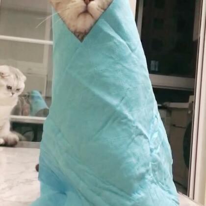 被一块浴巾玩坏了😂😂😂#宠物#