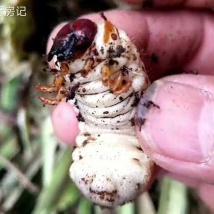 #美食##热门##农村生活#八哥终于找到了二十年前的经常吃的昆虫,这种昆虫蛋白质很高。你敢吃吗?😂对我来说太美味了