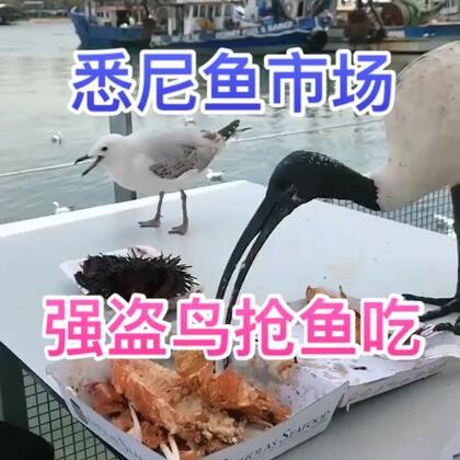 悉尼鱼市场,海鸥在众目睽睽之下抢我们的鱼吃,根本赶不走,这群强盗啊,败给你们了😂#精选##新奇##带着美拍去旅行#