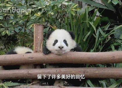 #大话熊猫# 在这一年中,我们一起见证了17级熊猫宝宝的成长,不论是机灵的肉肉,还是战五渣的成实,都带给了我们很多惊喜,作为熊猫饲养员的她们,又有怎样的收获呢?