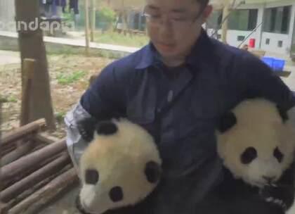 #大话熊猫#第三季至此完结啦!感谢大家的支持!快来看看这一年熊孩子们都给我们留下了哪些难忘的故事吧!新的一年继续云吸猫!