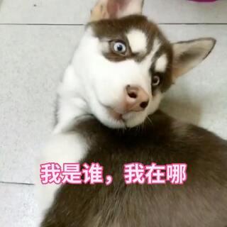 #宠物##哈士奇#地震现场惨不忍睹😶