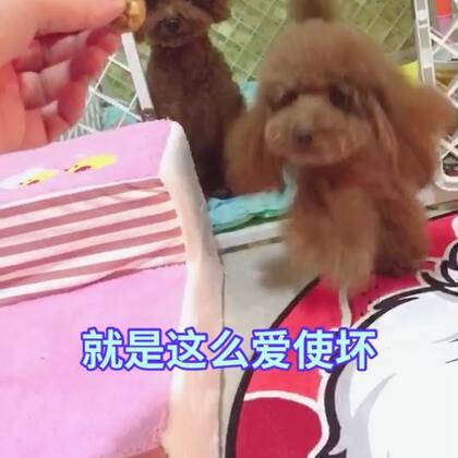 #宠物##汪星人#莎拉永远这么坏😂😂,U莉永远这么好😂😂http://item.taobao.com/item.htm?id=531597067228 莎拉麻麻手工宠物零食!纯天然更健康!