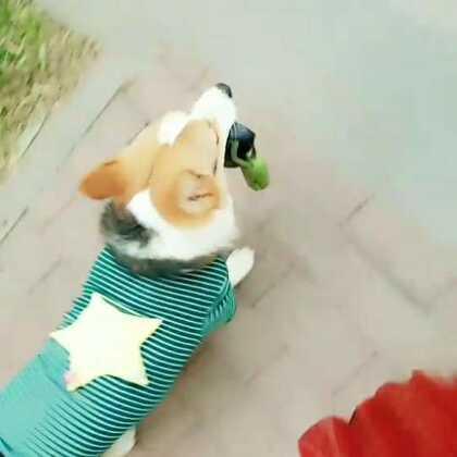 日常自溜,给你们看看小暖男的背景😄(这两天有点忙,更个手机库存)#汪星人##宠物##肉圆小短腿#
