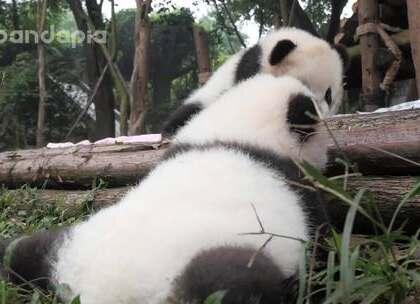 #萌团子陪你过周末#熊猫宝宝逞强: 不用不用~我自己能上来的!结果过了十分钟,还是……