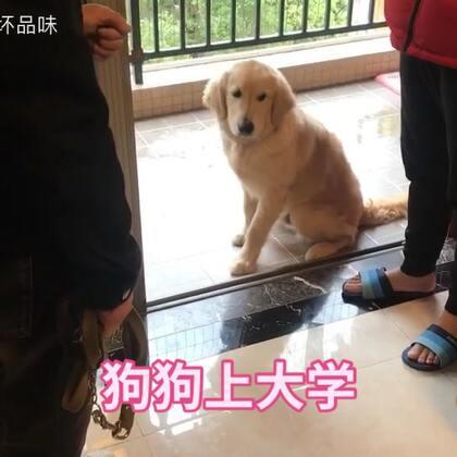 上门接狗狗上学,你家狗狗有这么调皮吗?一个月后看它的变化吧。#宠物##金毛#
