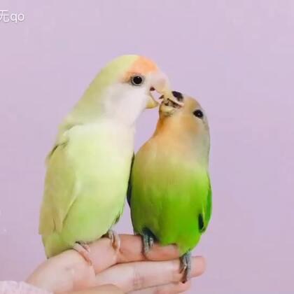 恭喜妮妮脱单❤#宠物##牡丹鹦鹉##精选#
