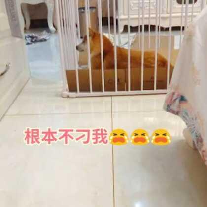 你网红 你了不起呀#精选##宠物##寻找网红狗#