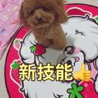 #汪星人##宠物#厉害了,麻麻我随口说说的,你也能懂 还照做😂😂http://item.taobao.com/item.htm?id=560105107790 莎拉麻麻手工宠物零食,训狗奖励必备!