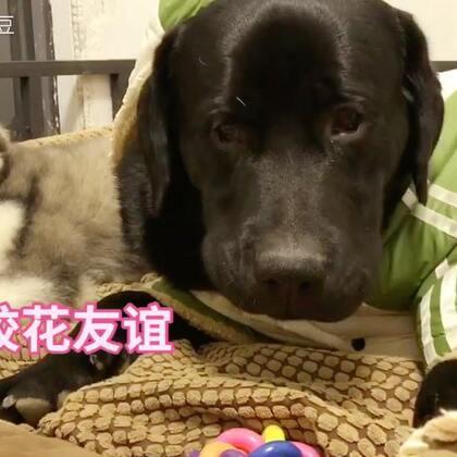 #宠物#给冻成狗的黑豆穿上了新衣服,雪橇犬好像有点不高兴。每天补钙耳朵这么久都没立,估计哈宝以后就是一只折耳哈士奇了😢