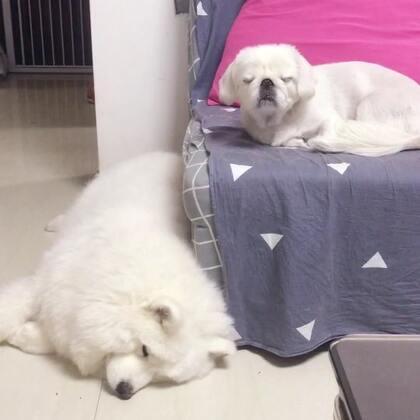 困了就去睡😂#宠物##萨摩京巴#淘宝店铺http://shop.m.taobao.com/shop/shop_index.htm?spm=0.0.0.0&shop_id=117933639