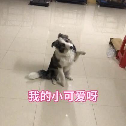#精选##宠物##边牧#