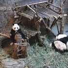 """#大话熊猫##萌团子日常#毛桃陷于妈妈""""爱的攻势""""中,而一旁的园月在架子上看着好戏,园月真的能够逃脱一劫吗?一岁多的小熊果然还是太天真啊……"""