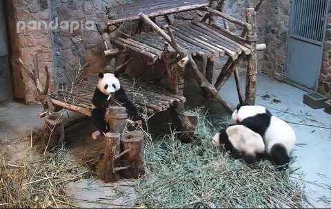 【PANDAPIA美拍】#大话熊猫##萌团子日常#毛桃陷于...