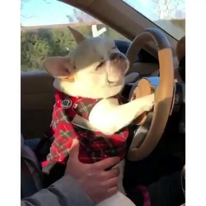 嘿狗,靠边停车,请出示你的驾照,行驶证?#宠物##唐门法斗先生##法国斗牛犬##极品法斗#