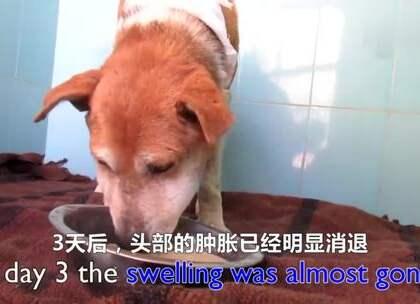 在印度街头有一只头部肿胀十分严重的年迈流浪狗,救助组织的志工赶到后发现她的喉部有一个巨大的伤口,走路已经分辨不清方向,又不让志工接触,情况十分危险。于是他们只好强行将她带回中心治疗,在麻醉后清除了伤口中满满的驱虫和腐肉,经过5周的康复后,她就蜕变成了漂亮的狗狗❤
