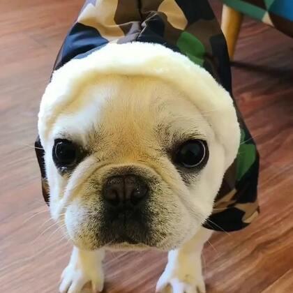 小白的预感!总觉得有什么不好的事情要发生。#宠物##法国斗牛犬##唐门法斗先生#极品法斗#