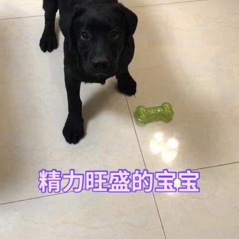 【爱奶蛋儿的小股神美拍】#宠物#耗费拉布拉多精力的好方法...