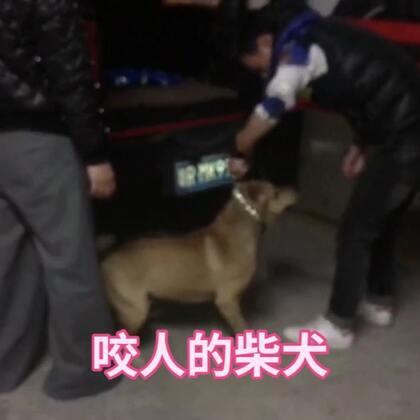 狗狗上大学,接到一只咬人的柴犬,期待它的变化吧?#精选##宠物##柴犬#