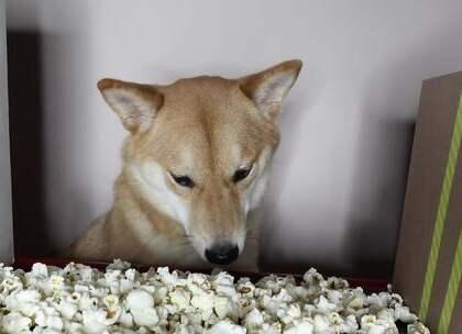 【ASMR】 分享一个超萌的ASMR声控视频。😳 狗狗吃爆米花时的嘎嘣脆真的太棒了哈哈哈!!!☺ Ps:狗狗在50秒的时候突然停下来是在思考人生吗?😂 #外国视频精选#
