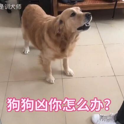 遇到狗狗凶你怎么办,视频教学噢,转发点赞吧!#宠物##金毛#