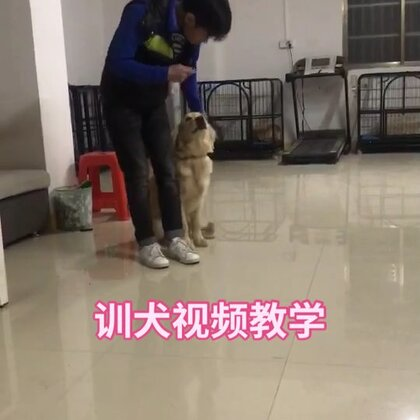 #宠物##狗狗##金毛#记得点赞噢