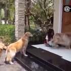 #宠物#狗子们出去玩后,都会在家门口乖乖排着队等主人给清理完脚掌😂@美拍小助手 喜欢请点赞+转发 更多精彩请关注微博:一起看MV
